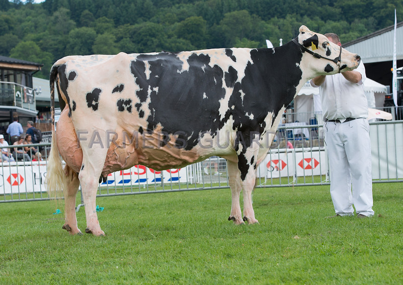 The Holstein champion, Willsbro Goldwyn Kitty 5 from A. H. Wilson and Son of Cardigan, Ceredigion.