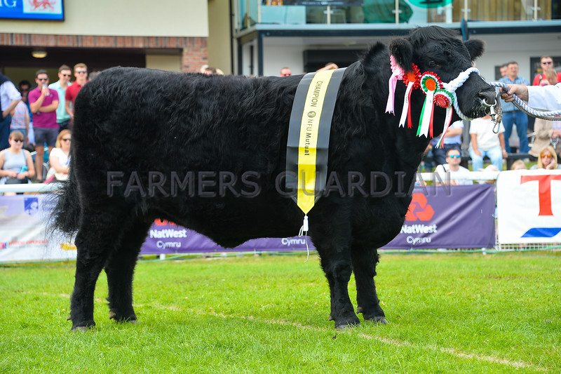 Welsh Black champion Eirianfa Ebrill 7th from Ms Eirian Lewis and Caryl Ann.