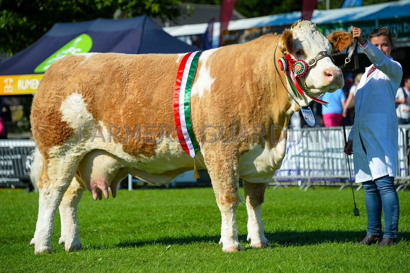Inter-breed beef champion Simmental cow Popes Princess Cleo from J.H. and V.G. Wood.