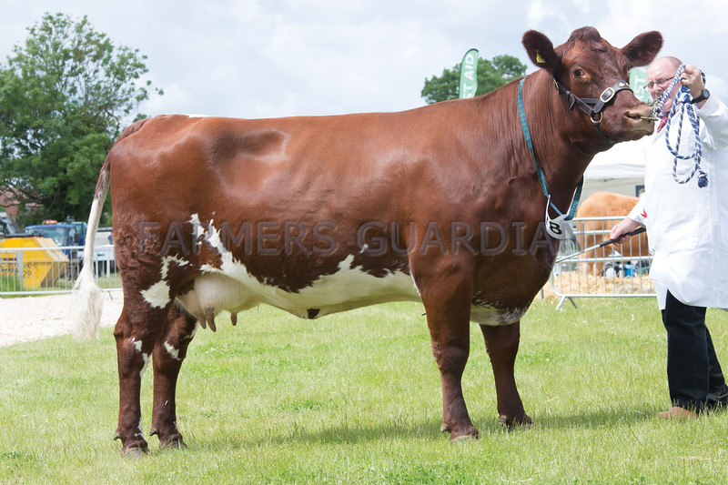 Rutland County Show 2017<br /> Overall Champion Podehole Gypsy Diamond owned by Harry Horrell <br /> Picture Tim Scrivener 07850 303986<br /> ….covering agriculture in the UK….