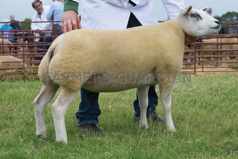 Rutland County Show 2017<br /> Beltex overall champion  owned by Richard & Rachel Sharp<br /> Picture Tim Scrivener 07850 303986<br /> ….covering agriculture in the UK….