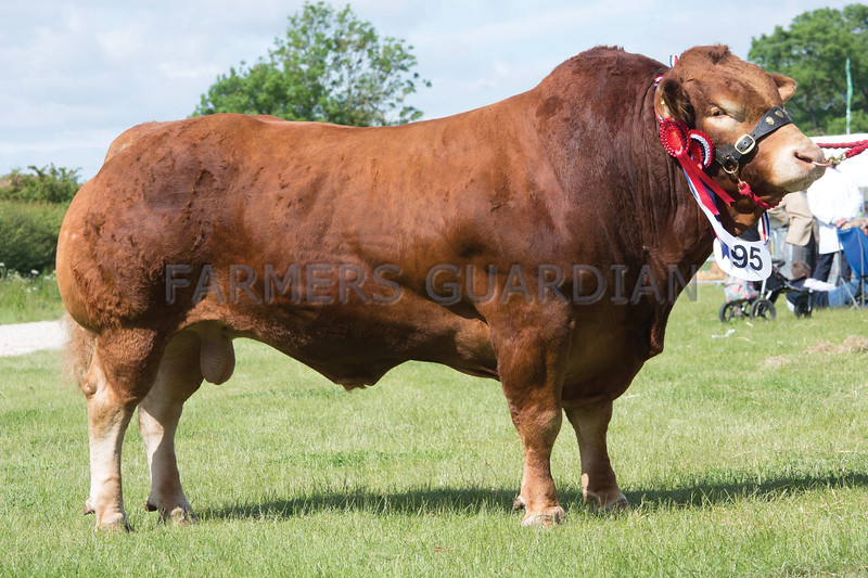 Rutland County Show 2017<br /> Monkey Puzzle Ideal owned by T A & L C Lyon & Son<br /> Picture Tim Scrivener 07850 303986<br /> ….covering agriculture in the UK….