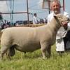 Rutland res Commercial sheep