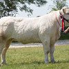 Rutland County Show 2016 <br /> British Charolais champion Rushfield Jessie owned by J R & V A Webb<br /> Picture Tim Scrivener 07850 303986 tim@agriphoto.com<br /> ….covering agriculture in the UK….