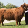 Rutland County Show 2016 <br /> Highland ChampionFuran Dorothy Of The Rose owned by Robert Wain<br /> Picture Tim Scrivener 07850 303986 tim@agriphoto.com<br /> ….covering agriculture in the UK….