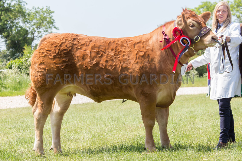 Rutland County Show 2016 <br /> Any other Continental and Overall Champion British Limousin Rempstone Ladyempress owned by Miss H C Burton <br /> Picture Tim Scrivener 07850 303986 tim@agriphoto.com<br /> ….covering agriculture in the UK….