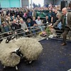 Scot sheep 16 Sale