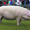 south of england  Pig Champ