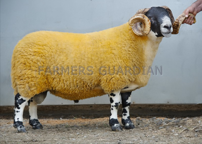 North Type Champion at the Scottish Blacface National Show at Stirling Aged Ram from T&M Paterson, Craigneich, Comrie.