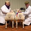Smith champ lambs