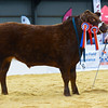 Steer champion was Red Hot from Dickie Wright.