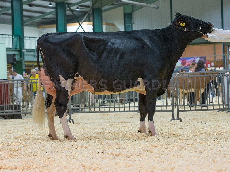 The interbreed dairy champion, Holstein