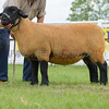 The reserve interbreed sheep champion, a Suffolk from J. Pryce.