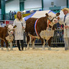 Hereford Dendor 1 Jennefer 15th, the beef interbreed champion from B. Birch and G. Brindley.