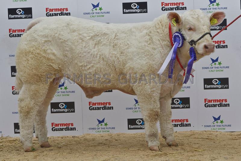 "Stars of the Future  13. Charolais Bull, Reserve Junior Champion. ""Stranagone llikeyou"" from Swabragh, Co Derry."