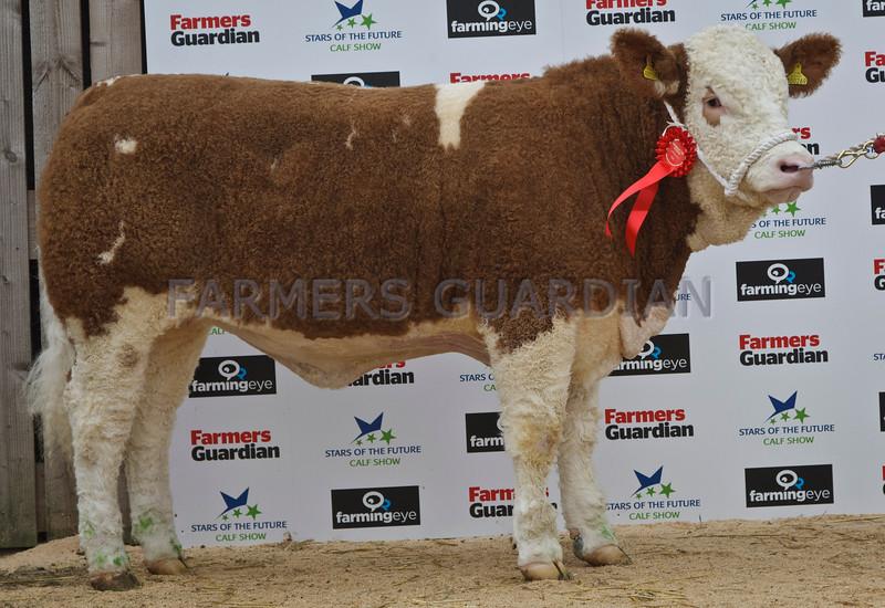 "Stars of the Future  13. Simmental Reserve Senior Heifer ""Overhill House Damson"" from R.McCulloch, Overhill House, Armadale."