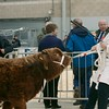 STARS OF THE FUTURE 6TH PEDIGREE CALF SHOW STIRLING MART SAT14TH NOV.  RELUCANT HIGHLAND CALF MAKING FOR THE JUDGING RING.