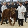 "STARS OF THE FUTURE 6TH PEDIGREE CALF SHOW STIRLING MART SAT14TH NOV.  ""FOXHILL FARM LOGAN"" LIMOUSIN JUNIOR AND CONTINENTAL CHAMPION SEEN GOING INTO THE JUDGING RING."