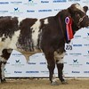 "STARS OF THE FUTURE 6TH PEDIGREE CALF SHOW STIRLING MART SAT14TH NOV SHORTHORN JUNIOR CHAMPION ""MILLERSTON JESTER"" FROM J&P RAMSAY,MILLERSTONE FARM, MAUCHLINE, AYRSHIRE."