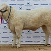 "STARS OF THE FUTURE 6TH PEDIGREE CALF SHOW STIRLING MART SAT14TH NOV CHAROLAIS SENIOR  CHAMPION "" TWEEDDALE JAZZYLADY"" FROM REDHEAD & WATSON,BOWSDEN,BERWICK-UPON-TWEED."