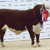 "STARS OF THE FUTURE 6TH PEDIGREE CALF SHOW STIRLING MART SAT14TH NOV.  HEREFORD SENIOR CHAMPION ""ROCKNESS MAELSTROM"" FROM W&P ECCLES, CARLAVEROCK FARM,TRANENT."