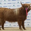 "STARS OF THE FUTURE 6TH PEDIGREE CALF SHOW STIRLING MART SAT14TH NOV.  SENIOR HIGHLAND CHAMPION ""HAYLEY 1ST OF RANNOCH"" FROM D.MACNAUGHTON, KELTY."