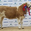 "STARS OF THE FUTURE 6TH PEDIGREE CALF SHOW STIRLING MART SAT14TH NOV SIMMENTAL JUNIOR FEMALE CHAMPION ""KENNOX DIVA'S GENA"" FROM D.CRAIG,STEWARTON, AYRSHIRE."