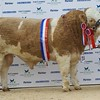 "STARS OF THE FUTURE 6TH PEDIGREE CALF SHOW STIRLING MART SAT14TH NOV.  SIMMENTAL OVERALL SENIOR CHAMPION ""ISLAVALE FENDT"" FROM W.STRONACH,BERRYLEYS, GRANGE,KEITH."