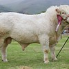 STIRLING SHOW 15 CHAROLAIS CHAMPION FROM G.RUSSELL,LESLEY PARK, DENNY.