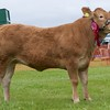 STIRLING SHOW 15 SUPREME CATTLE CHAMPION 'RONOCK JINGO'  FROM RONALD DICK, MAINS OF THORSK, STIRLING.