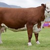 STIRLING SHOW 15 HEREFORD CHAMPION 'ROMANY 1 PLUM' FROM J.R.B WILSON, COWBOG, KELSO.