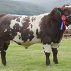 STIRLING SHOW 15 SHORTHORN CHAMPION 'COLROCKIE HATRICK' FROM M.D MCMILLAN,MONEYDIE ROGER, LUNCARTY, PERTH.
