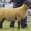 STIRLING SHOW 15 SUFFOLK SHEEP CHAMPION A EWE GIMMER  FROM ROBERT BRYCE, CHALMERSTON FARM, STIRLING.