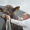 STIRLING SHOW 15 GEORGE MCCULLOCH SEEN TRYING TO CATCH THE EYE OF THE JUDGE WITH HIS SHORTHORN BULL FROM HIGHLAND WAGYU BURNSIDE OF BALHALDIE.