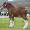 STIRLING SHOW 15 CLYDESDALE CHAMPION FROM JOHN ADAMSON, EASTER GLENTORE FARM,UPPERTON.
