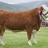 STIRLING SHOW 15 SIMMENTAL CHAMPION FIRST TIME SHOWEN TWO-YEAR-OLD HEIFER 'WOODHALL ERICA' FROMJ.C MCCULLOCH,OVERHILL HOUSE, ARMADALE.