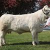Suffolk Beef champ