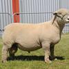 Suffolk Sheep champ