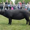 Suffolk pig champ