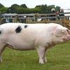 Suffolk Pig