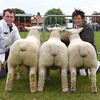 Suffolk sheep group