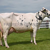 Suffolk Holstein