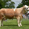 Suffolk Simmental
