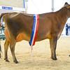 Heifer in milk champion, Jersey Futuredreams Tequila Veronica 2.