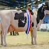 SW DAIRY SHOW Holstein-6150