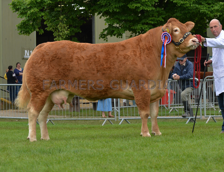 The interbreed beef champion, Limousin cow Trueman Grazia from Paul Dawes.
