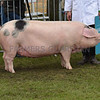 The reserve interbreed pig, Gloucestershire Old Spot,