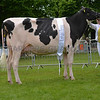 The dairy interbreed champion, Holstein heifer Panda April Fools Gold from Panda Holsteins.