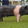The interbreed pig champion, Hampshire gilt Blewett Precious 76 from J. E. Sage.