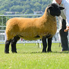 The interbreed sheep champion, Suffolk from W. H. Sinnett and Sons.
